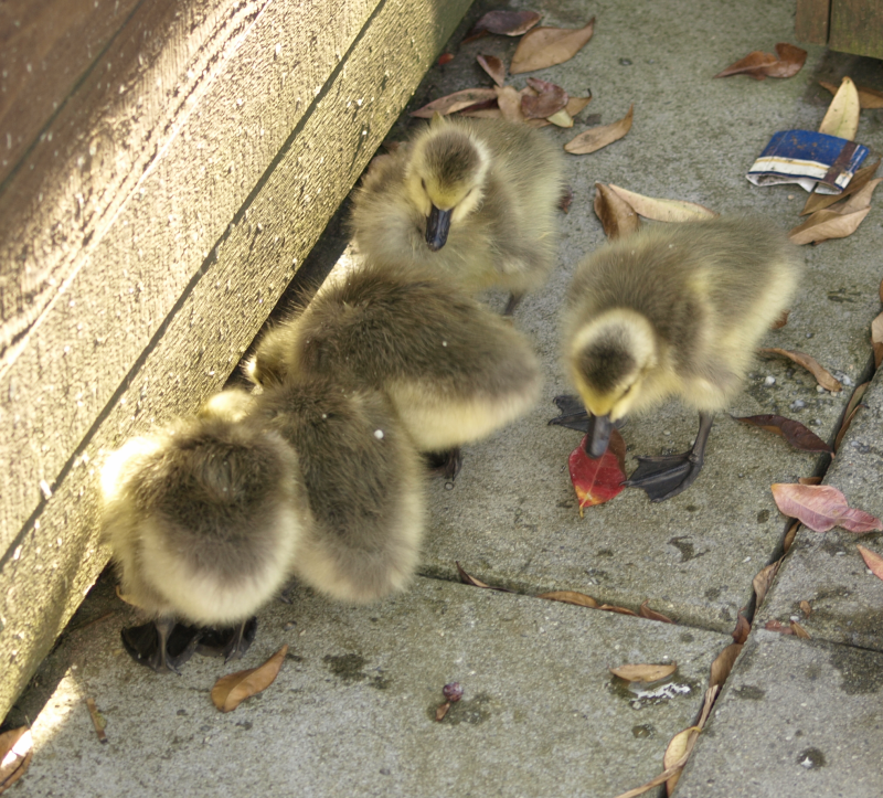 Canada Goose goslings scrounging for moss