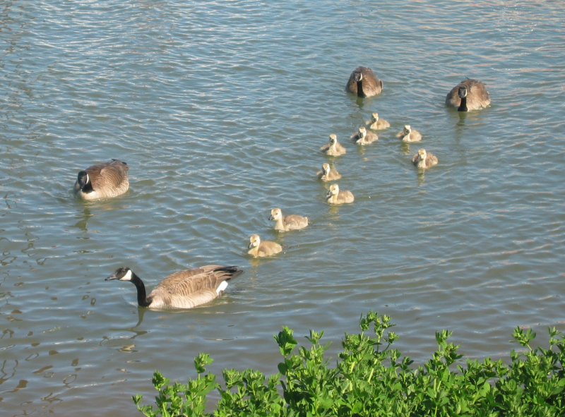 2 Canada Goose families with goslings