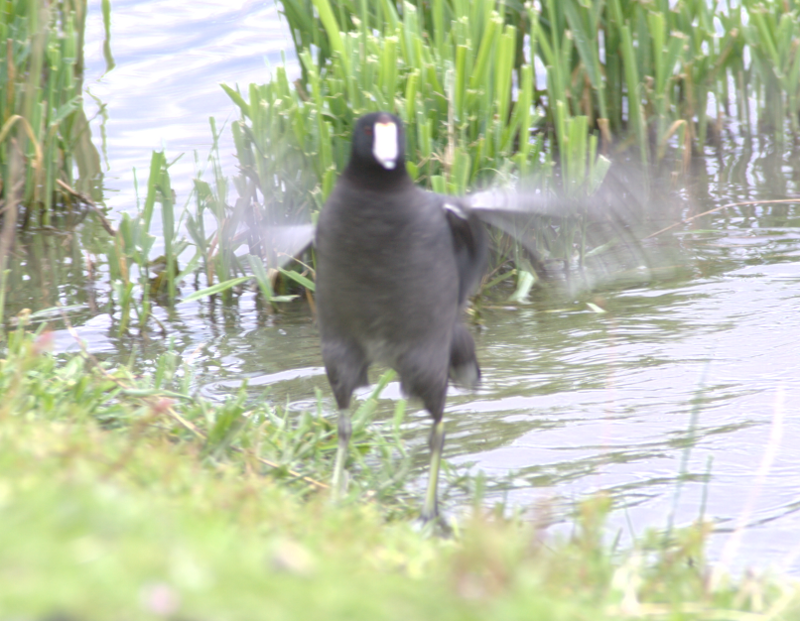 Coot bathing