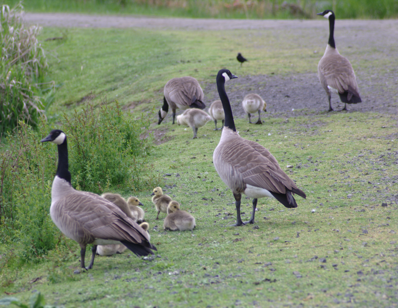 Canada Goose families with goslings