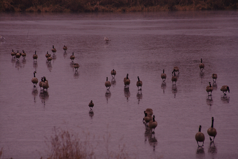 Canada Geese walking on ice