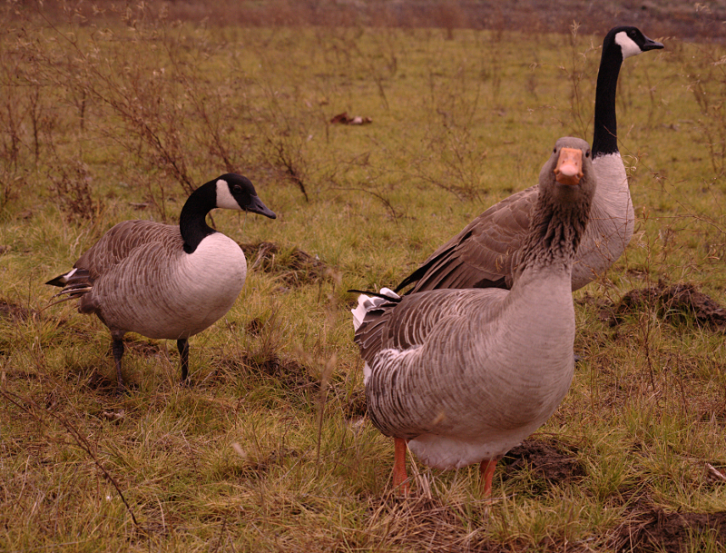 Gus the Greylag Goose and Canada Geese friends