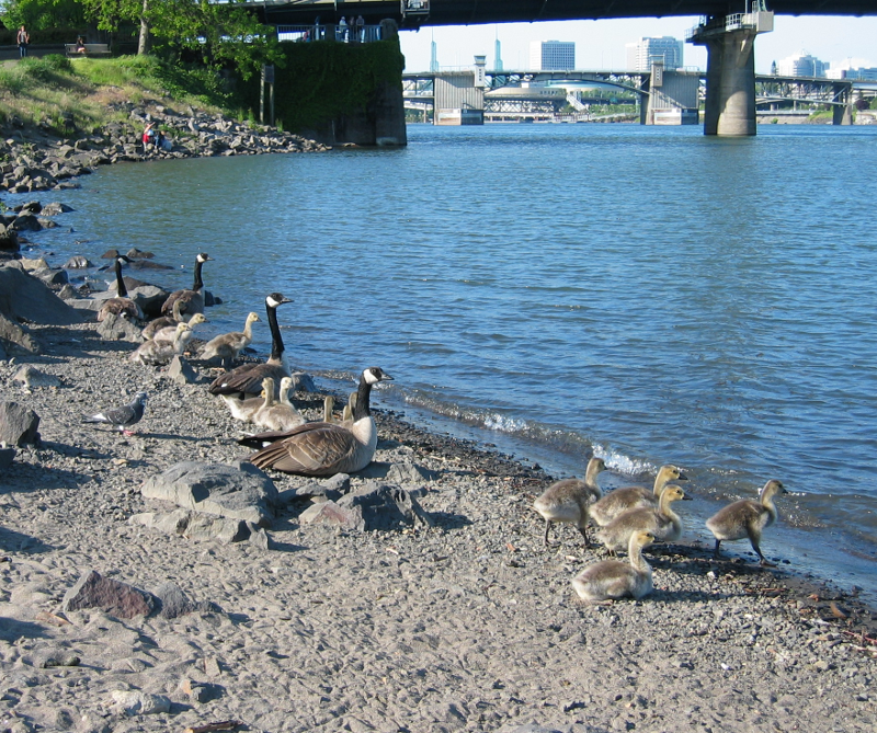 beach with Canada Goose goslings