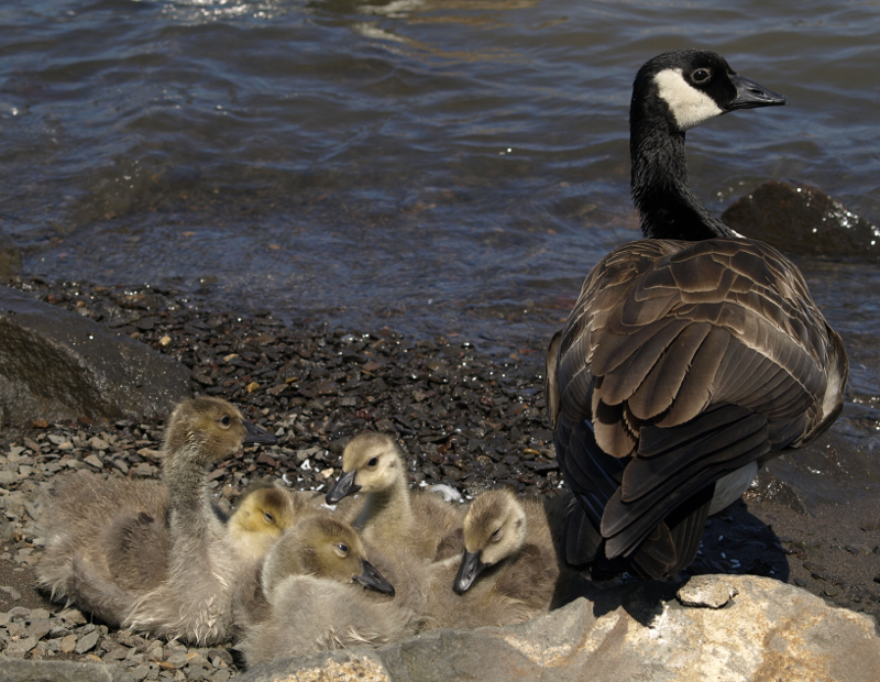 family of Canada Geese goslings