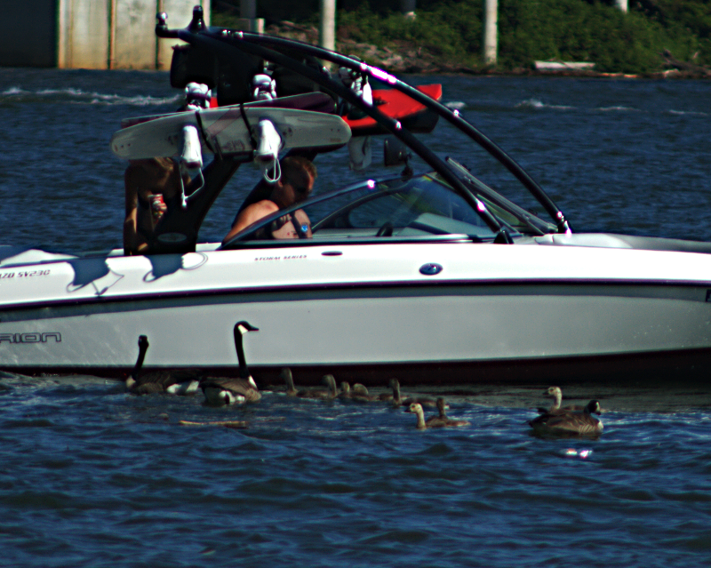 Geese begging at boats