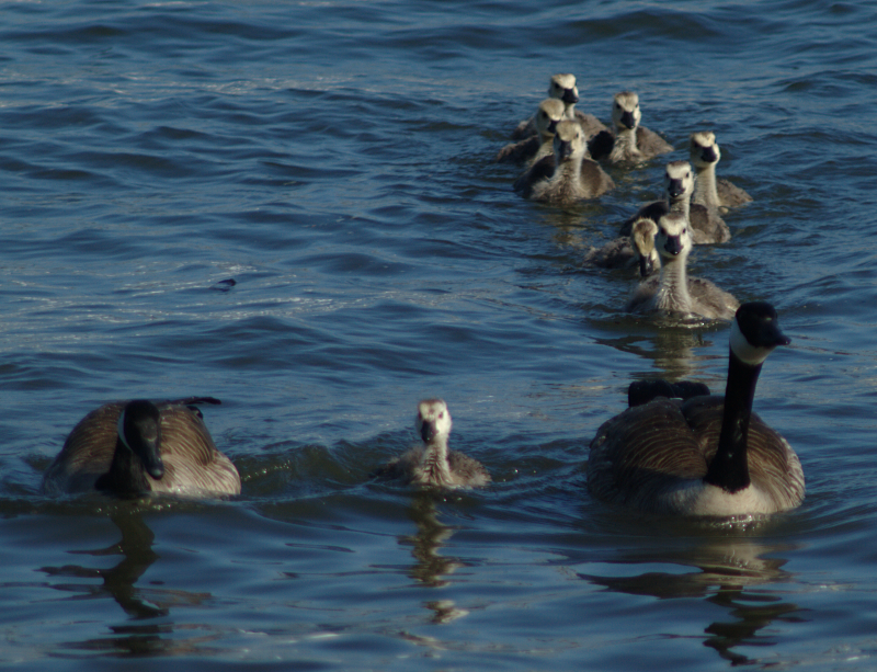 Canada Geese family with 9 goslings