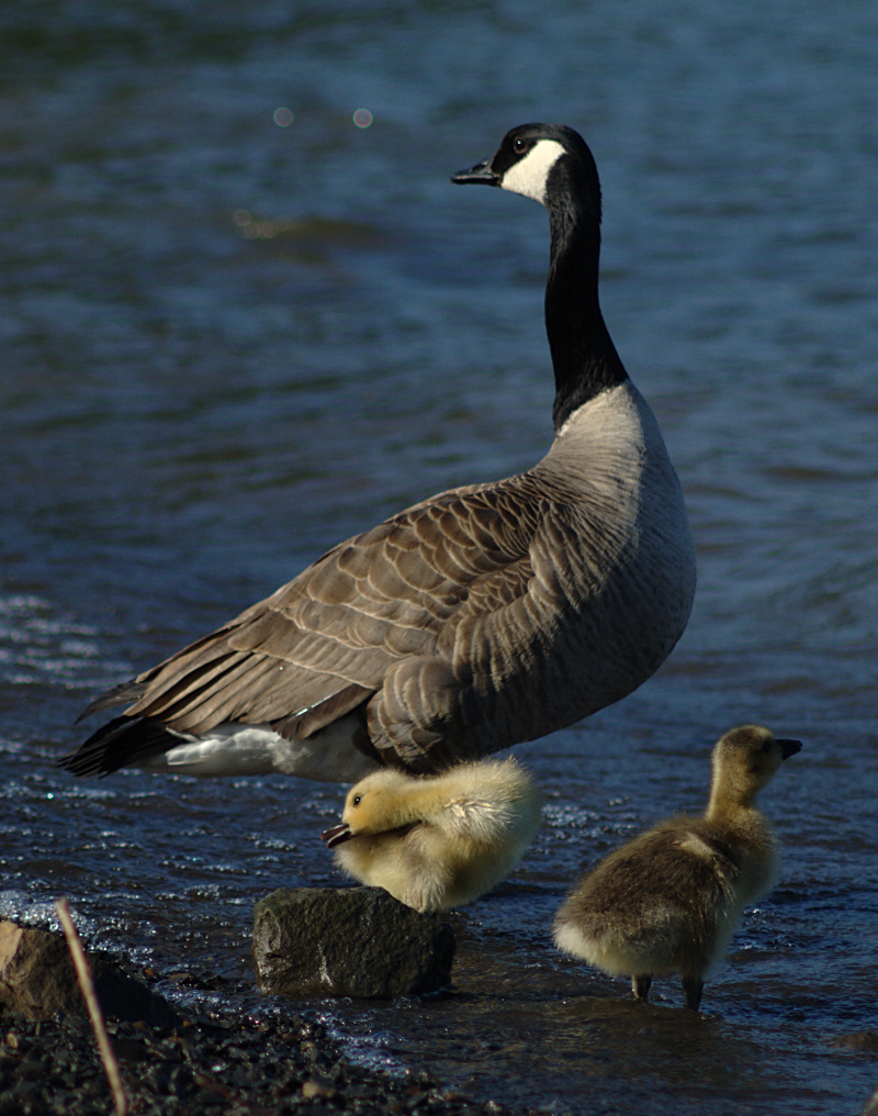 Canada Geese famil`y with 2 goslings