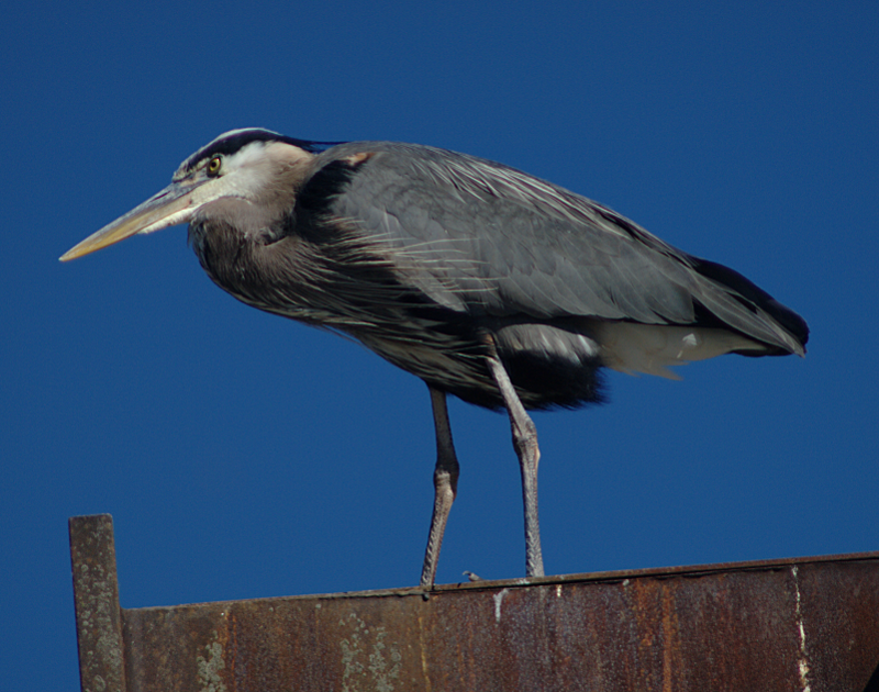 Beethoven the Great Blue Heron