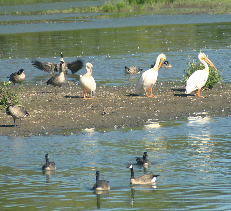 Pelicans and Canada Geese