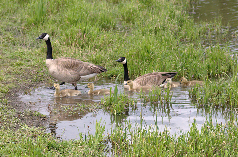 Canada Goose family with goslings